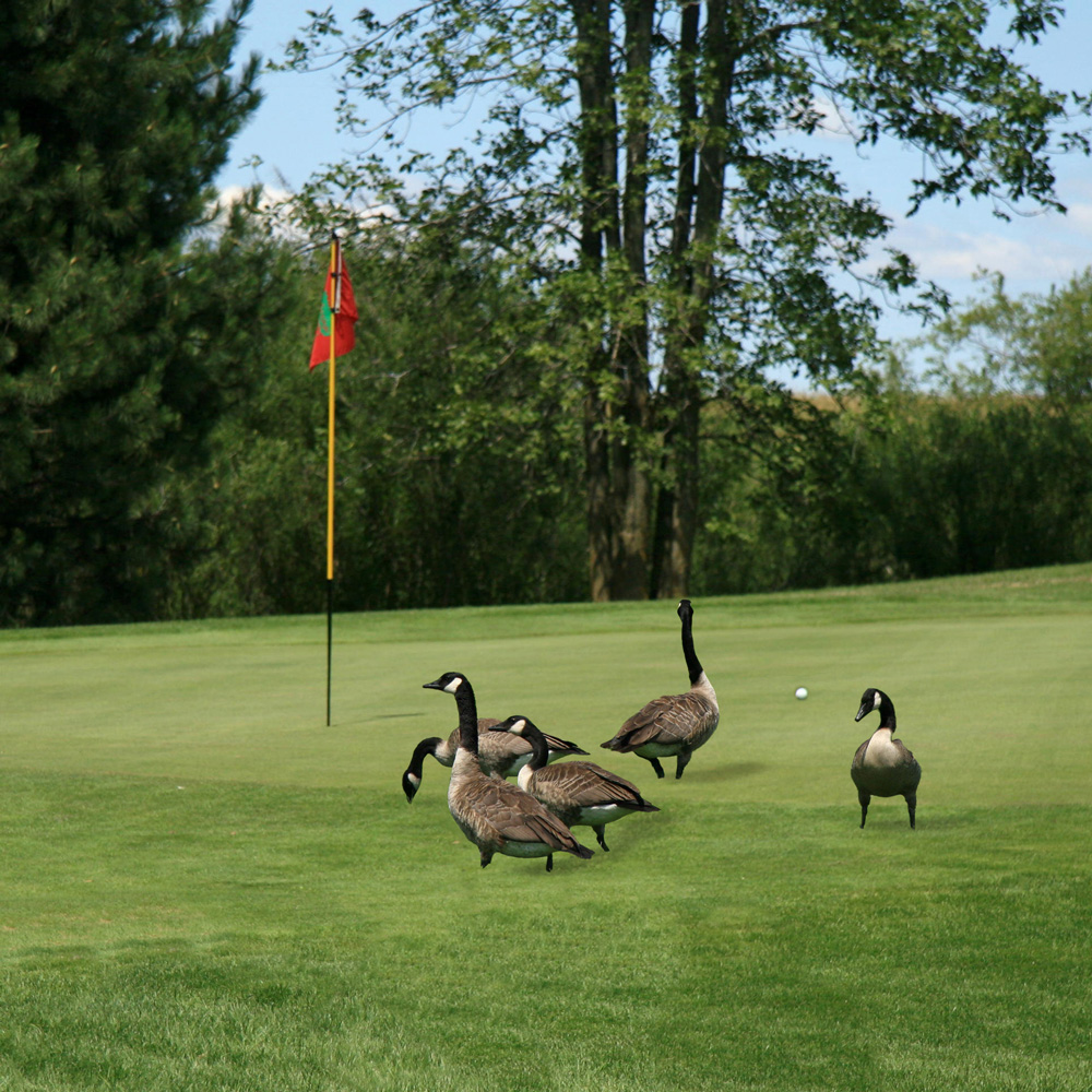 Minneapolis Goose Removal