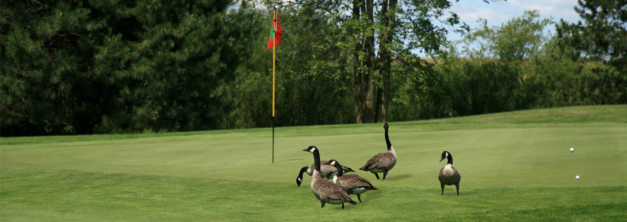 Goose Hazing and Harassment