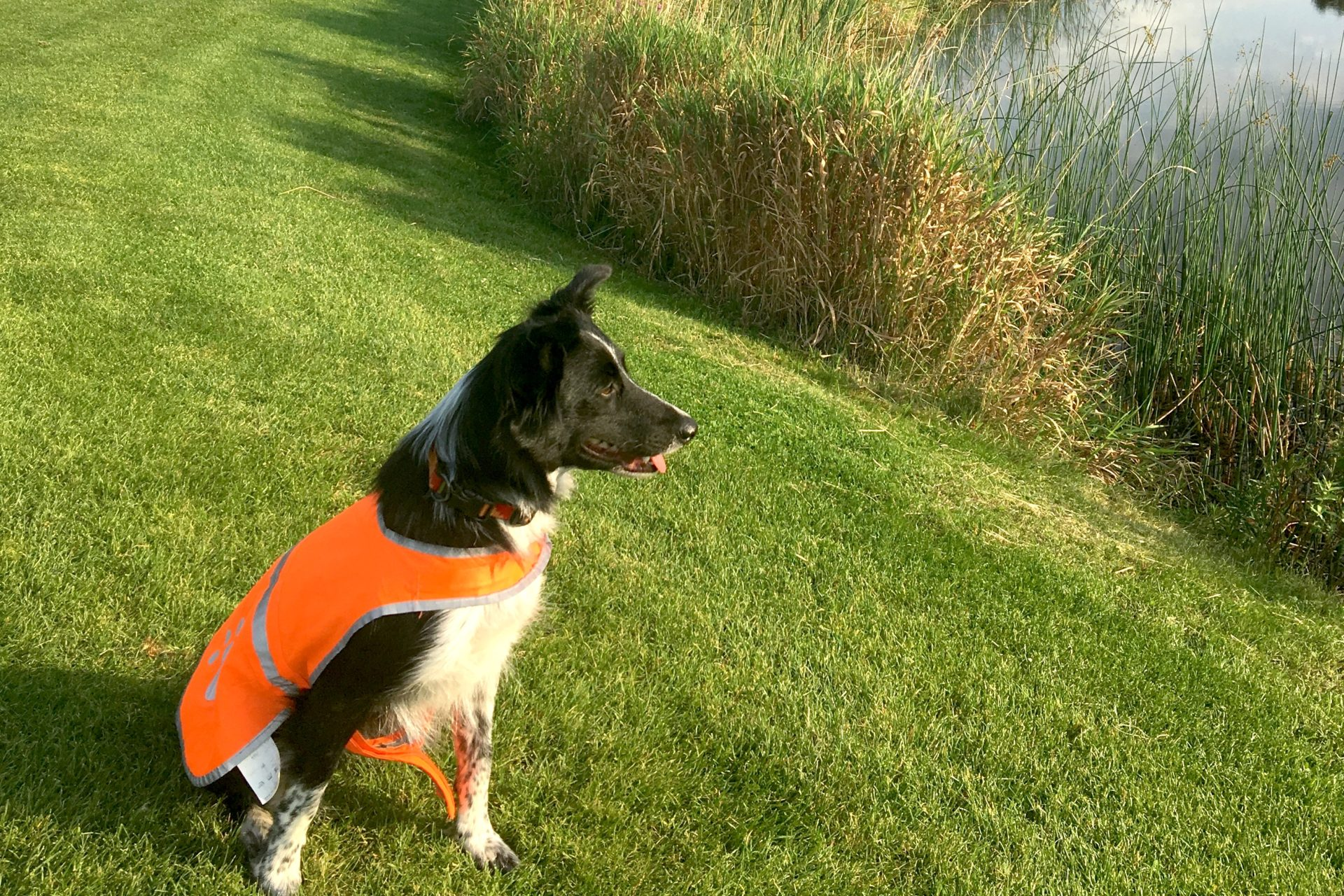 Dogs for goose control