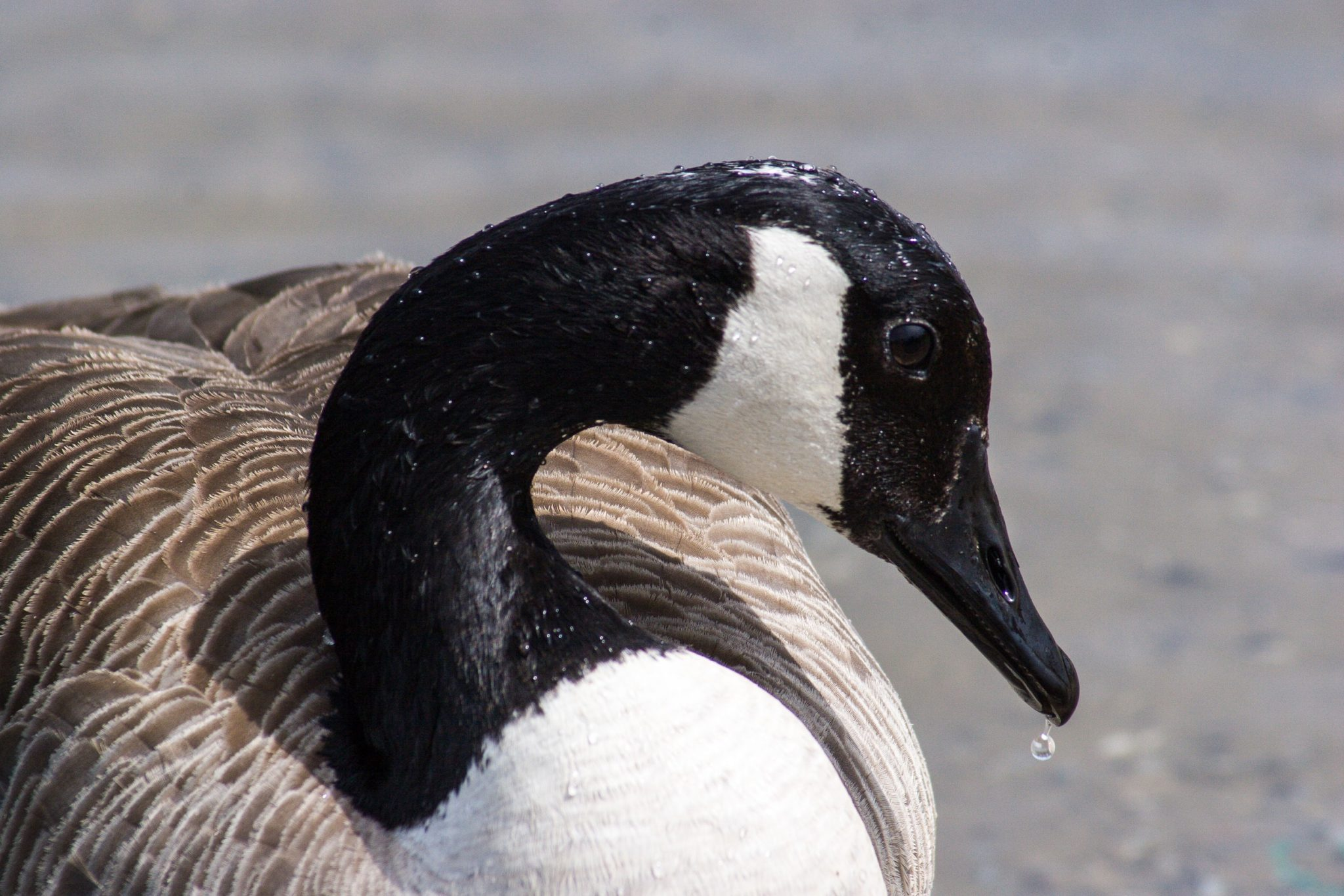 Results You Can Expect from Minnesota Goose Removal Using Dogs