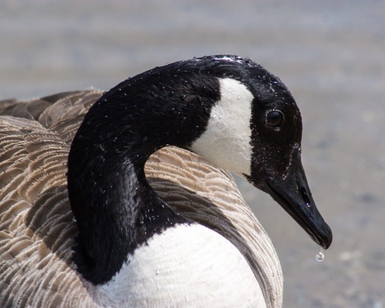 Minnesota Goose Removal Using Dogs - Driven Wild Goose Control